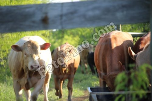Cattle - FotoFino.com