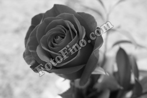 Black And White Rose - FotoFino.com