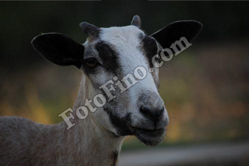Ewe - FotoFino.com