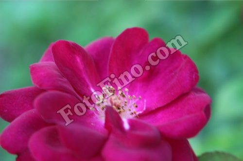 Hot Pink Flower - FotoFino.com
