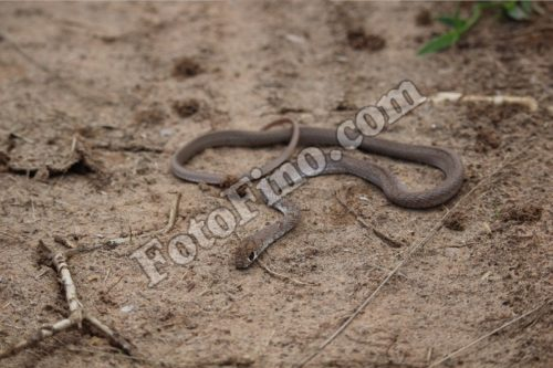 Light Brown Snake - FotoFino.com