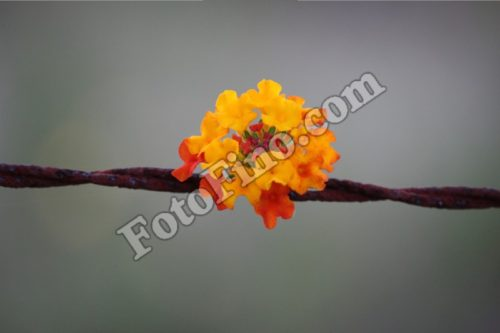 Orange and Yellow Flower on Barbed Wire - FotoFino.com