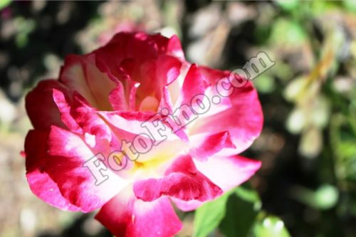 Pink and White Rose - FotoFino.com