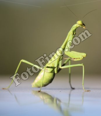 Praying Mantis - FotoFino.com