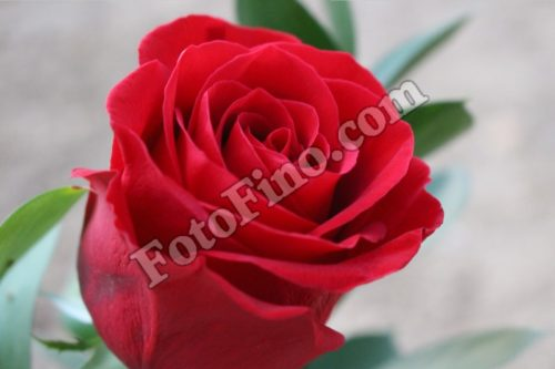 Pretty Red Rose - FotoFino.com