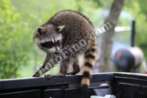 Raccoon - FotoFino.com