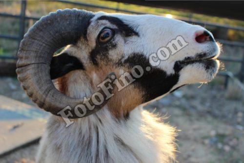 Ram With Head Turned - FotoFino.com