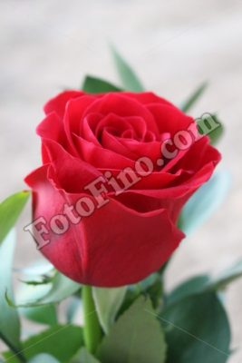 Red Rose - FotoFino.com