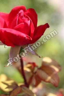 Red Rose - FotoFino.com