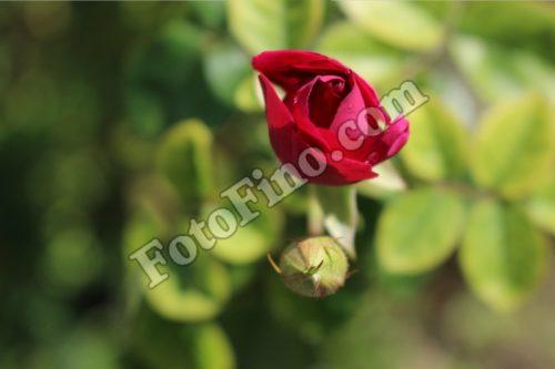 Rose Bud - FotoFino.com