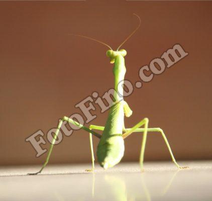 The Back Of Praying Mantis - FotoFino.com