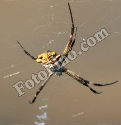 Ugly Yellow Spider - FotoFino.com