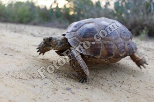 Walking Turtle - FotoFino.com