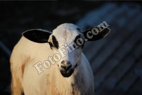 White Lamb - FotoFino.com