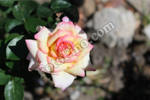 White Rose with Pink Outline - FotoFino.com