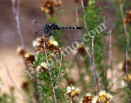 Blue Dragonfly - FotoFino.com