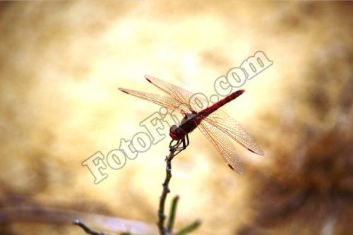 Red Dargonfly - FotoFino.com