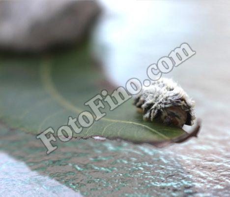 Asp Caterpillar - FotoFino.com