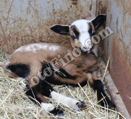 Lamb-Baby Ram - FotoFino.com
