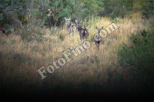 Three Doe - FotoFino.com