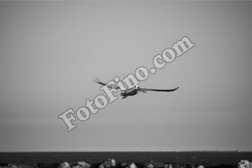 Flying Pelican - FotoFino.com