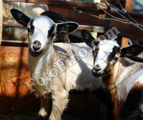 Lambs - FotoFino.com