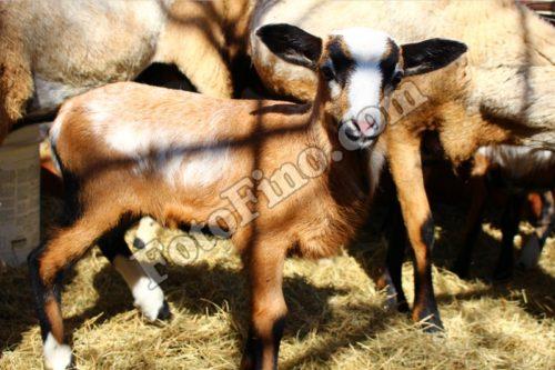 Little Lamb - FotoFino.com