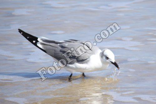 Seagull Drinking Water - FotoFino.com