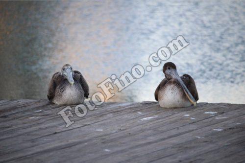 Two Pelicans - FotoFino.com
