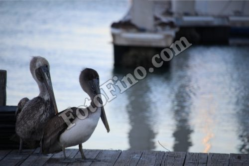 Two Pelicans Sitting On a Deck - FotoFino.com