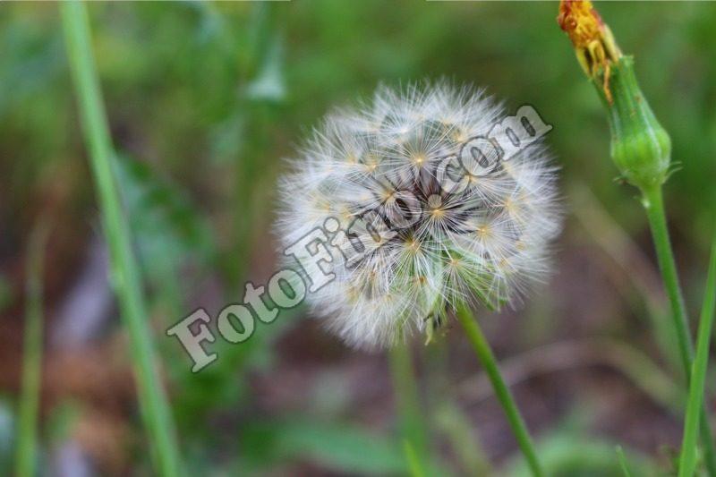 Dandelion - FotoFino.com