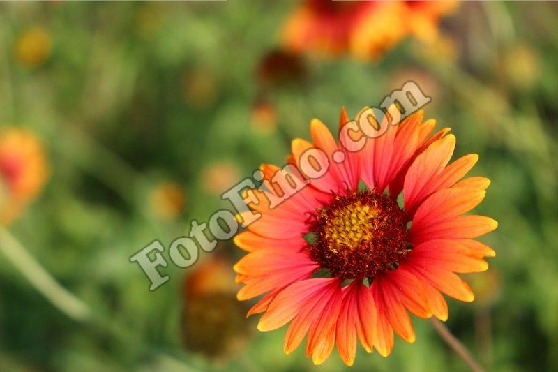Orange and Yellow  Wildflower - FotoFino.com