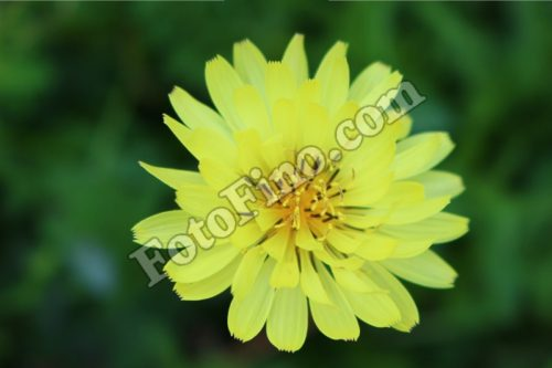 Yellow Flower - FotoFino.com