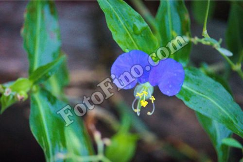Blue Flower - FotoFino.com