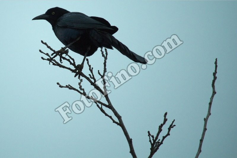 Crow - FotoFino.com