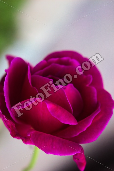 Hot Pink Rose - FotoFino.com