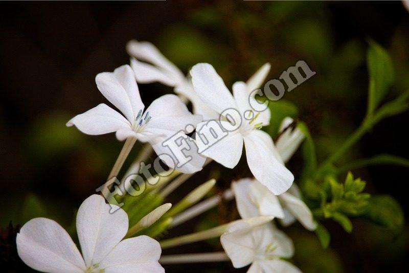 Little White Flowers - FotoFino.com