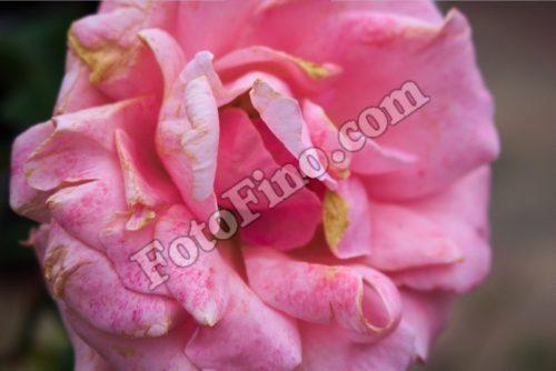 Pink Rose - FotoFino.com