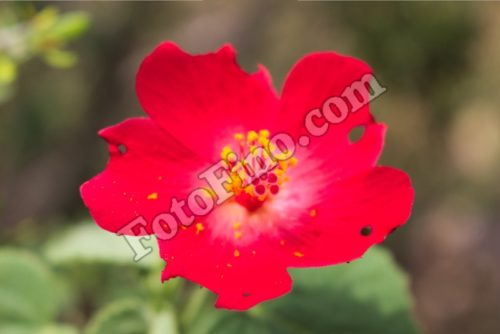 Red Flower - FotoFino.com
