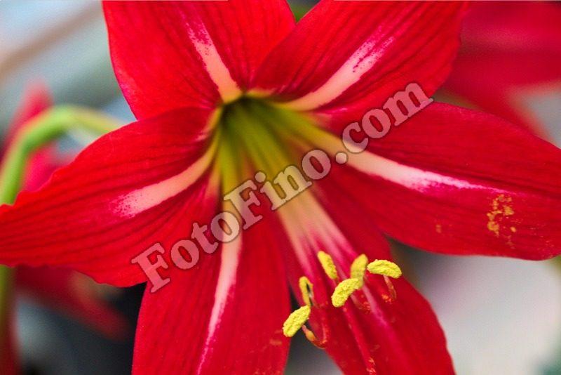 Red Lily-1 - FotoFino.com