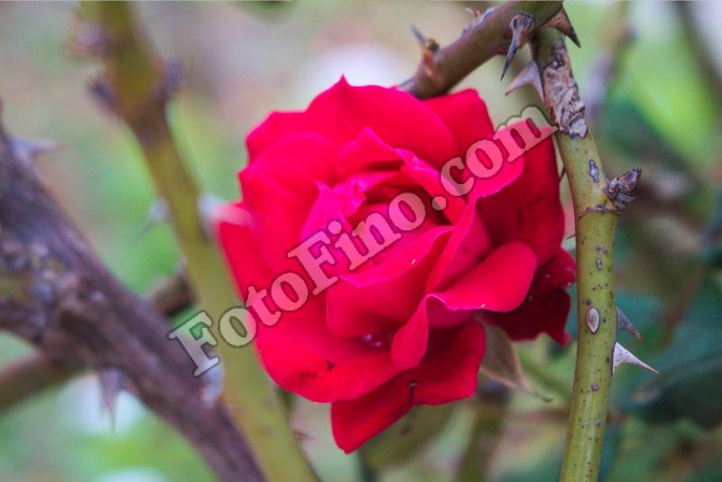 Rose-1 - FotoFino.com