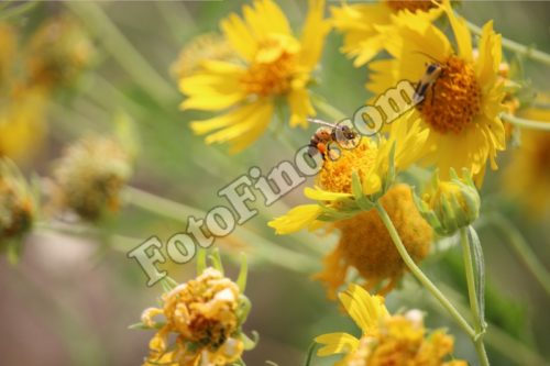 Bee Resting on a Flower - FotoFino.com