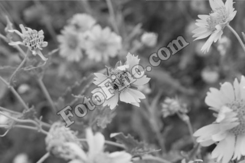 Black and White Sunflowers - FotoFino.com