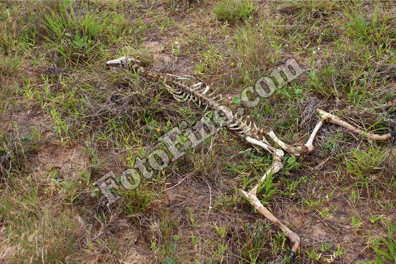 Deer Skeleton - FotoFino.com