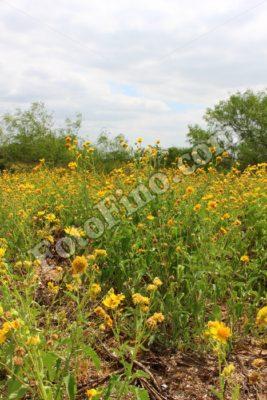 Sunflowers - FotoFino.com