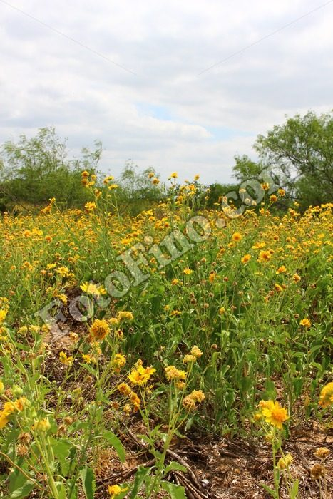 Sunflowers - FotoFino.com