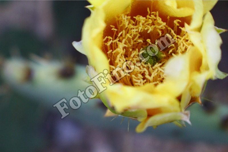 Yellow Cactus Flower - FotoFino.com