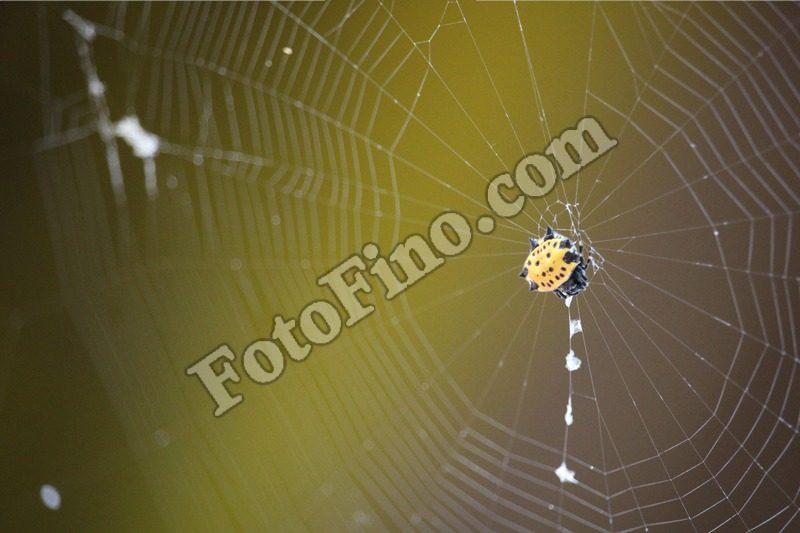 Yellow Spider - FotoFino.com