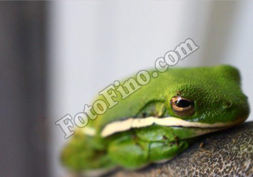 Green Frog - FotoFino.com