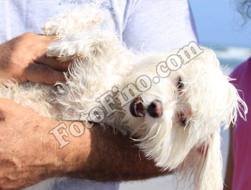 Maltese Dog - FotoFino.com